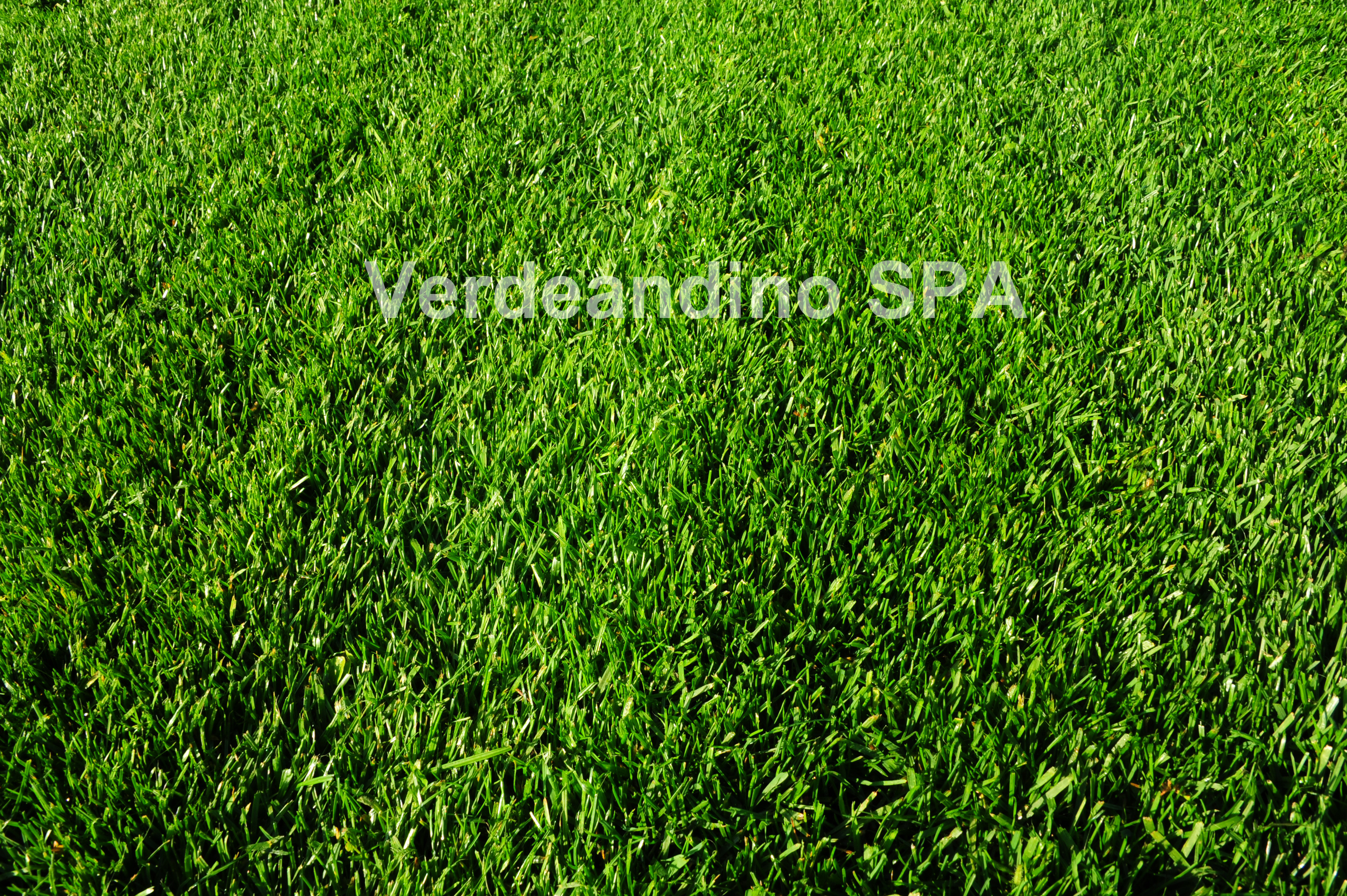 Tipos de cesped natural beautiful tipos de csped - Cesped natural o artificial ...